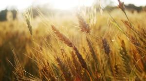 campi-di-grano-bis